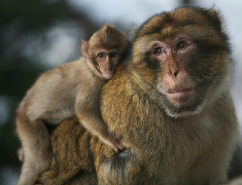International Macaque Day